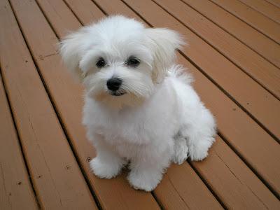 Breeds of Hypoallergenic Dogs