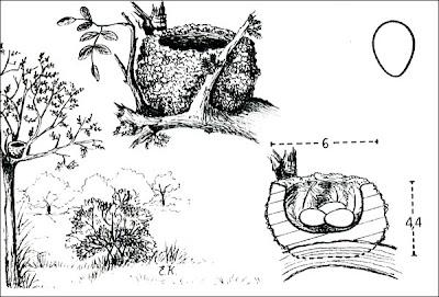 Piojito común Serpophaga subscristata