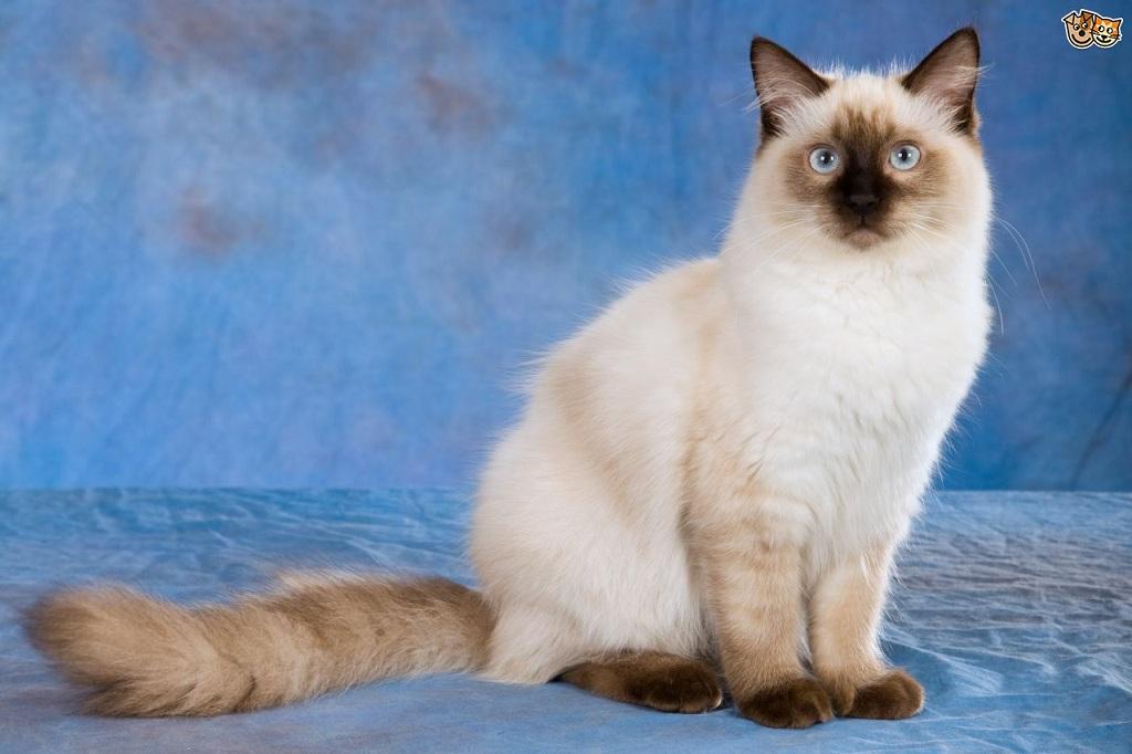 Keunikan Dan Sejarah Kucing Siam