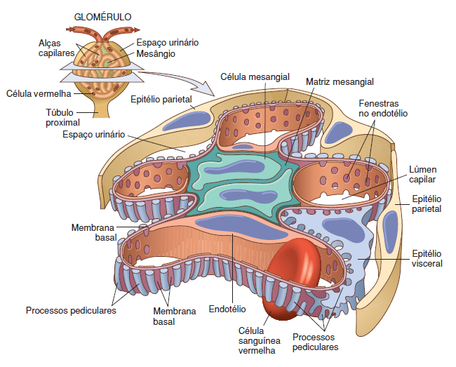 Capilares diferem glomérulo os do