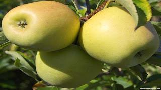 Golden apple fruit images wallpaper