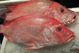 Metode Mengenali Umpan Pas Mancing Ikan Kakap Merah
