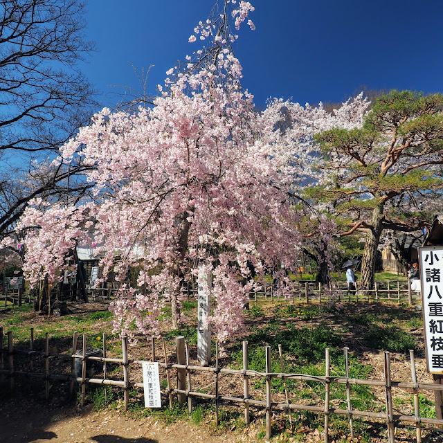 懐古園 小諸城址 小諸八重紅枝垂 桜