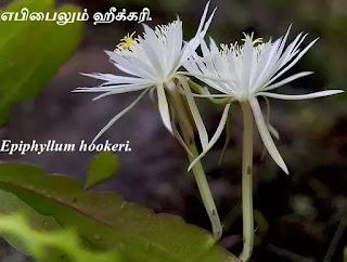 Epiphyllum hookeri flower