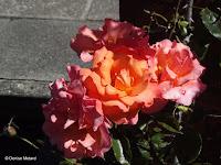 Tangerine pink roses - Wellington Botanic Gardens, New Zealand