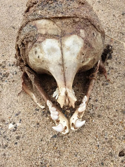 The-teeth-on-this-skull-without-eye-sockets-are-strange.