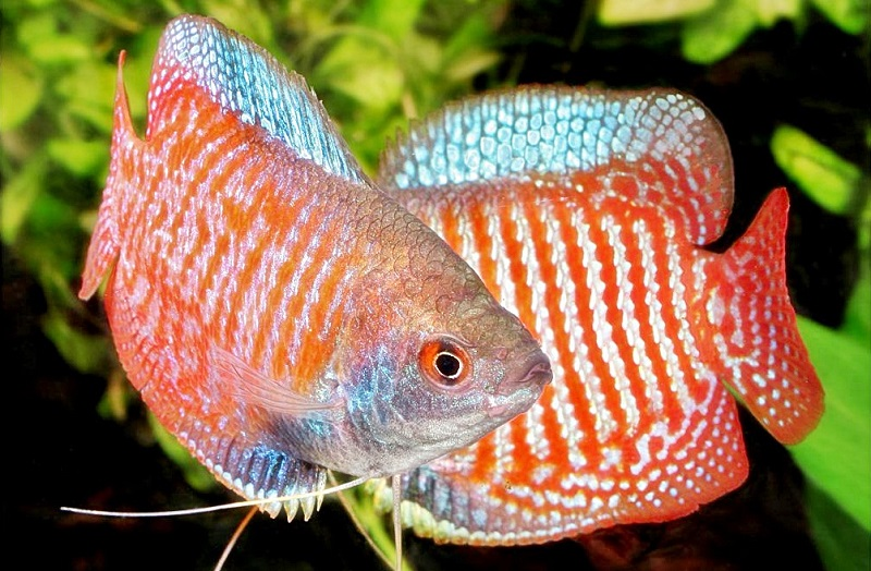 Ikan Dwarf Gurame - Ikan Hias yang Kuat Hidup Tanpa Oksigen / Aerator