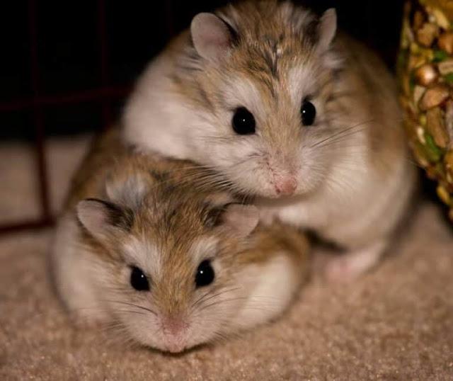 7 Cara Membedakan Hamster Jantan & Betina (Mudah & Akurat)