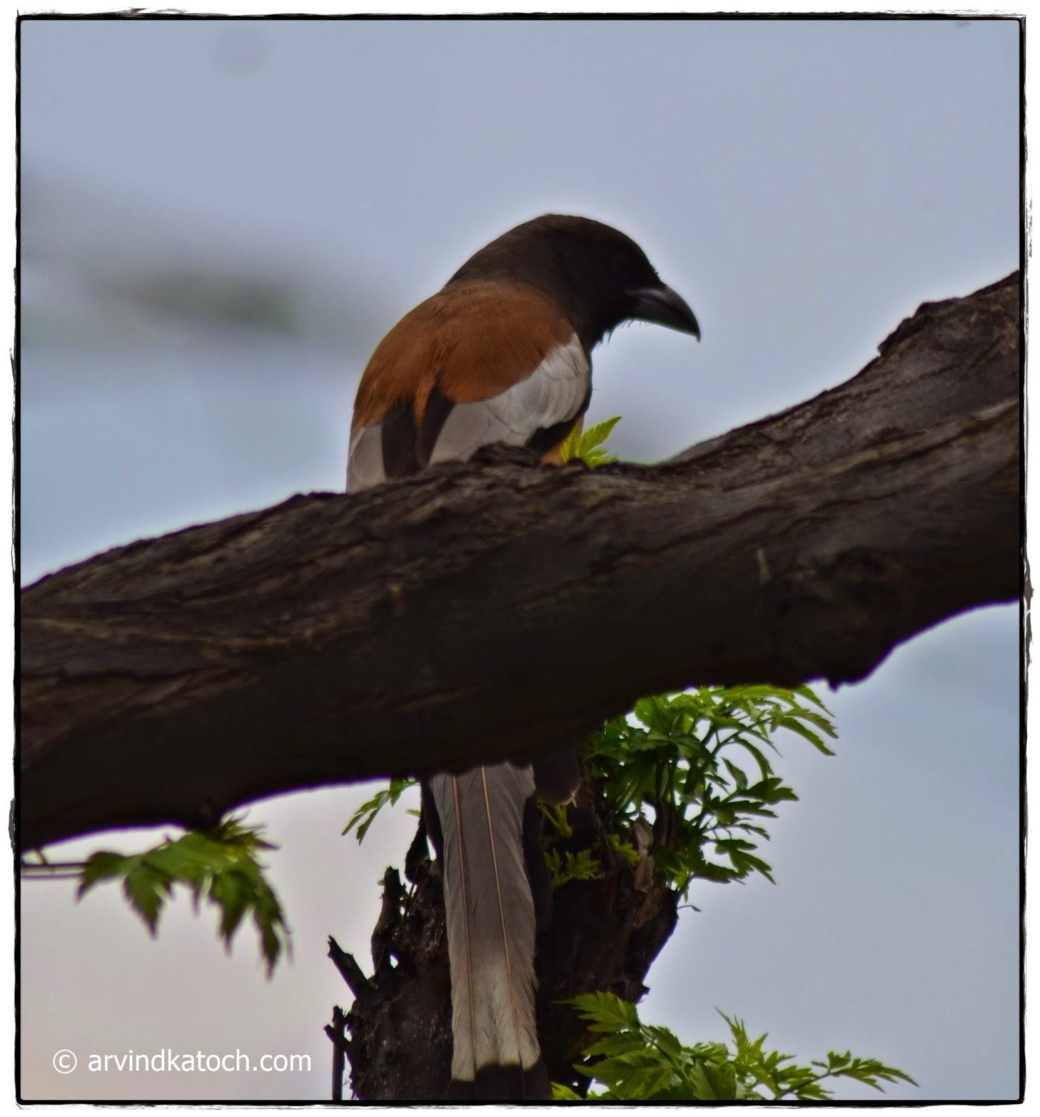 Rufous Treepie, Behind a Tree