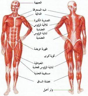 كم عدد عضلات جسم الانسان وما هي أنواع عضلات جسم الإنسان ومكونات الجهاز العضلي 4