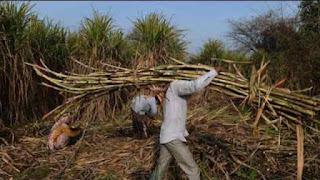 nepal-permit-to-purchase-sugarcane-madhubani