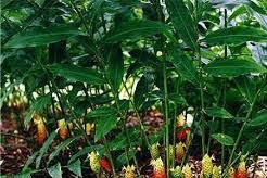 Bangle (Zingiber  purpureum Roxb).