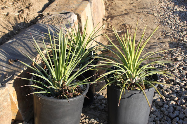 Agave striata in gal pots waiting to be planted