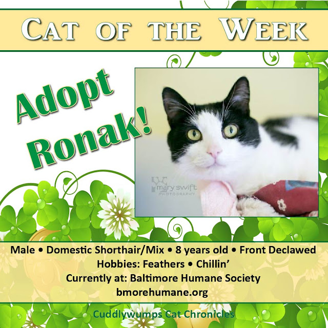 Cat of the Week: Ronak #BaltimoreHumane