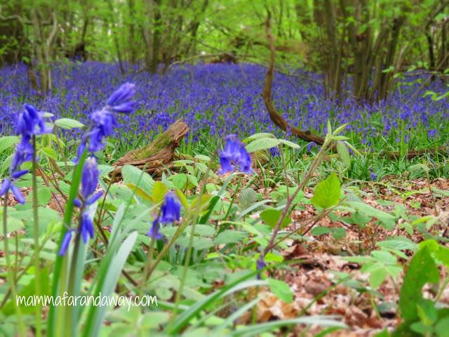 fioritura bluebells inghilterra