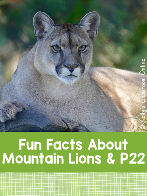 Five fun facts about mountain lions and P22, the mountain lion that lives in Griffith Park, downtown Los Angeles, California. #kellysclassroomonline