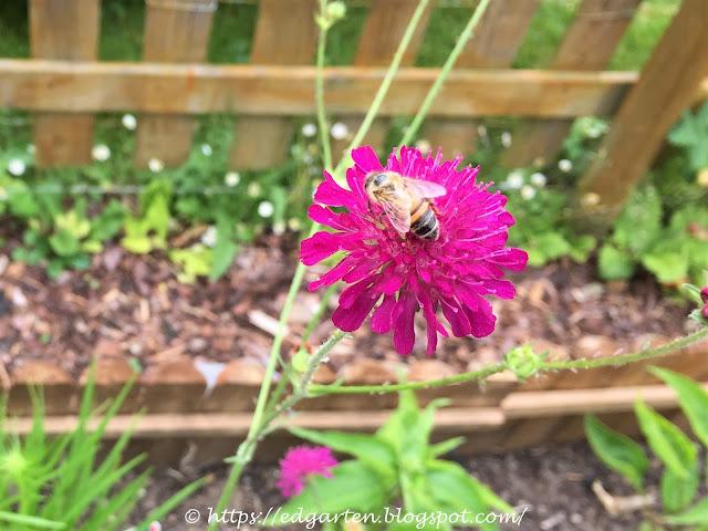 Biene auf Witwenblüte