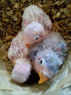 Jadwal Meloloh Anakan Lovebird Umur 0 Hari Sampai Bisa Makan Sendiri