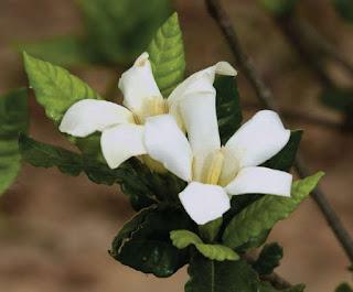 ต้นพุด อินถวาน้อย (พุดน้ำ) พุดป่าของไทย