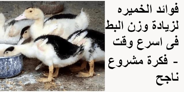 فوائد الخميره لزيادة وزن البط فى اسرع وقت - فكرة مشروع ناجح