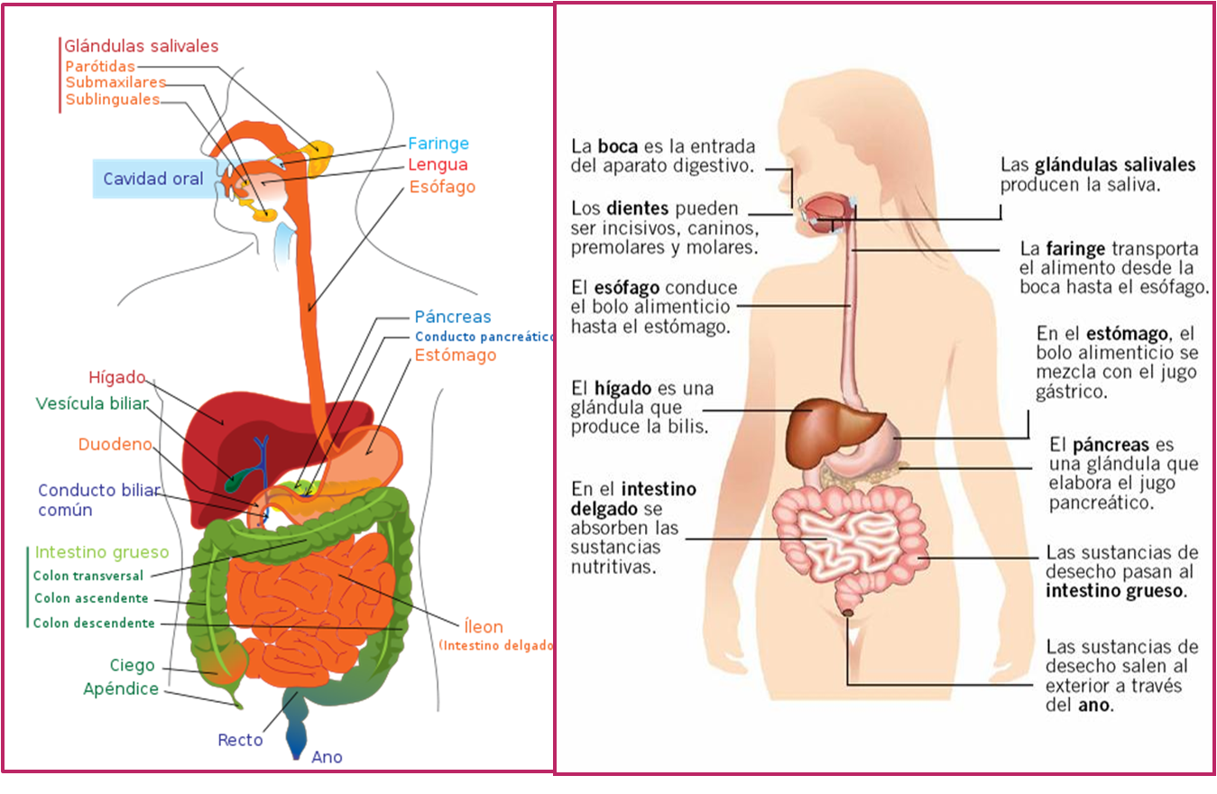 CientíficaMENTE: SISTEMA DIGESTIVO Y NUTRICIÓN