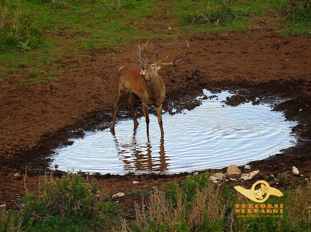 cervo che bramisce in acqua