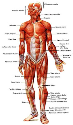 File also F Cec B C E D Cd Science Worksheets Worksheets For Kids also The Heart Diagram Not Labeled in addition Labeled Skeleton Diagram also Sistema Muscular. on 5th grade muscular system