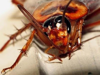Foto al rostro de la cucaracha