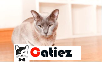 tonkinese cat - all you want to know about tonkinese cats
