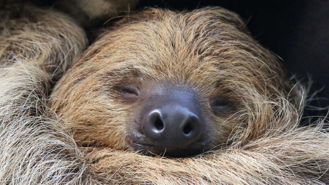 Download Sloths PREMIUM, Tema per Windows 10