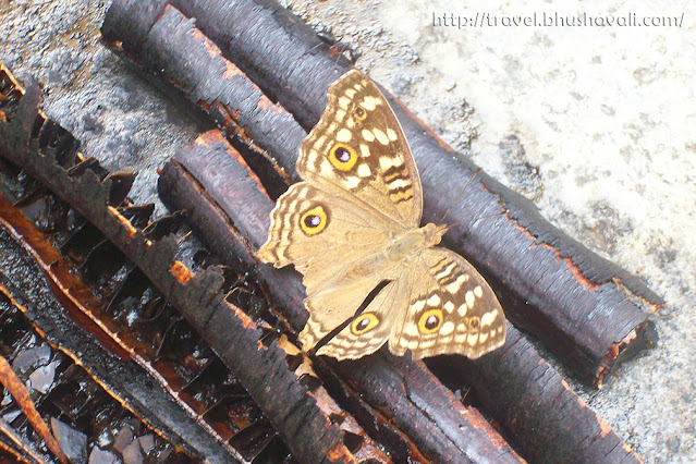 Lemon Pansy insect - butterfly with eyes on wings