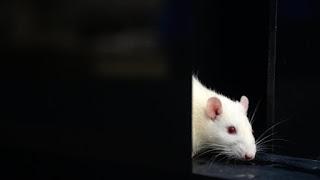 لقاح محتمل لكوفيد-19 يحقق نتائج مبشرة في دراسة على الفئران