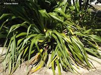 Flax, Wellington Botanic Garden, New Zealand