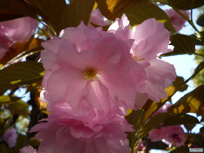 櫻宮神社の八重桜