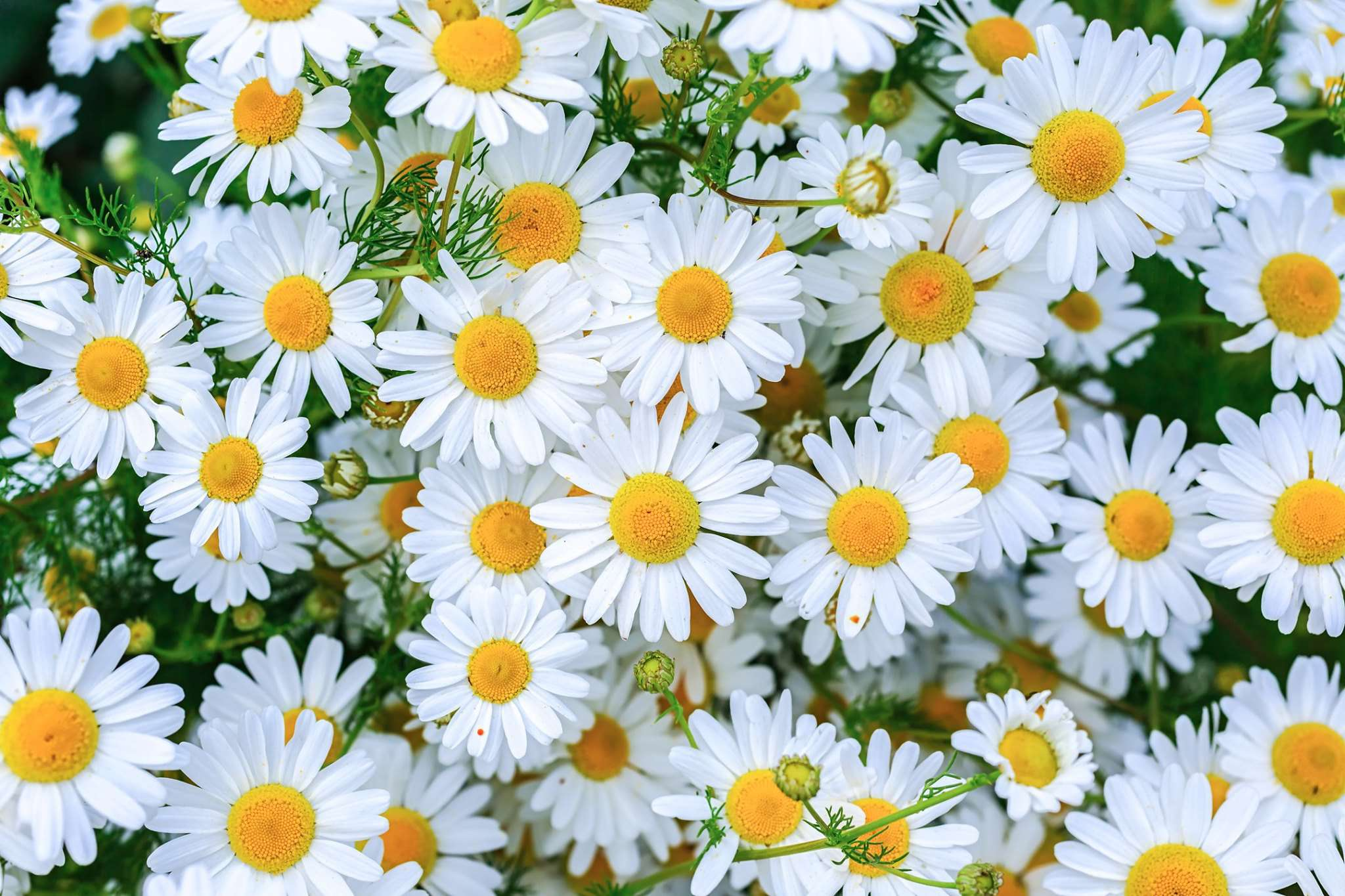National Daisy Day Wishes Images download