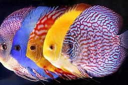 Mengenal Jenis-Jenis Ikan Discus Yang Populer Berserta Harganya