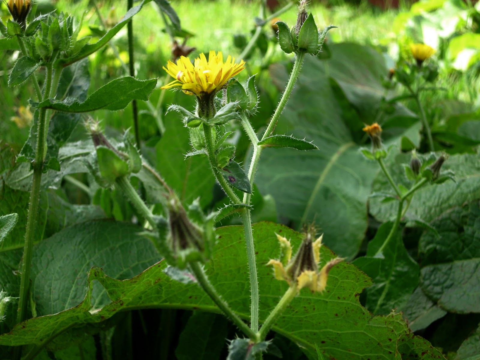 Yellow flower with prickly leaves