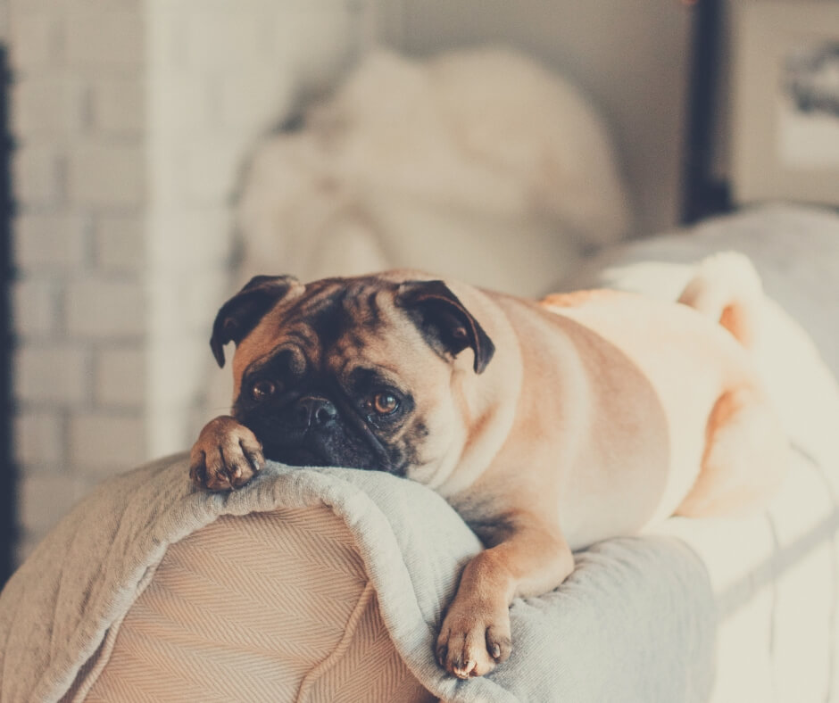 How Having A Pet Can Make The Quality Of Your Life Better | Pug sitting looking at the camera.