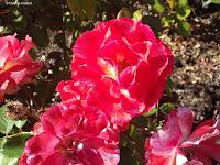 Rock and Roll shrub rose - Mona Vale Garden, Christchurch, New Zealand