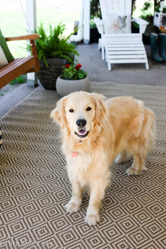 Golden retriever on patio with indoor/outdoor rug