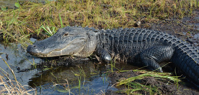 Everglades Rivers alligator