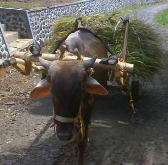 Yoke Single kuk, merupakan kuk model tunggal untuk satu hewan penarik (sapi)