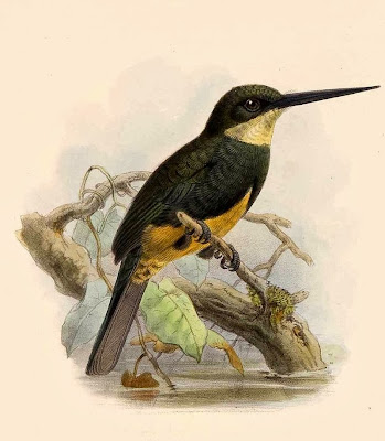 Dusky backed Jacamar