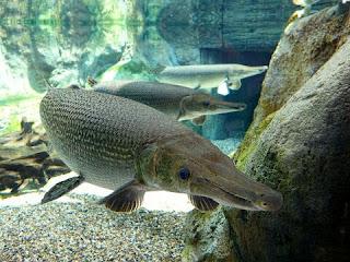 Jenis Ikan Aligator Gar