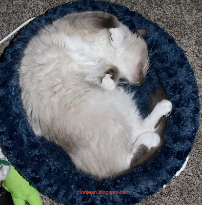 Fergus the kitten asleep in his bed