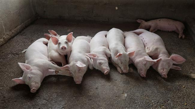 Scientists at a Massachusetts company create safer pig organs with goal of transplants for humans