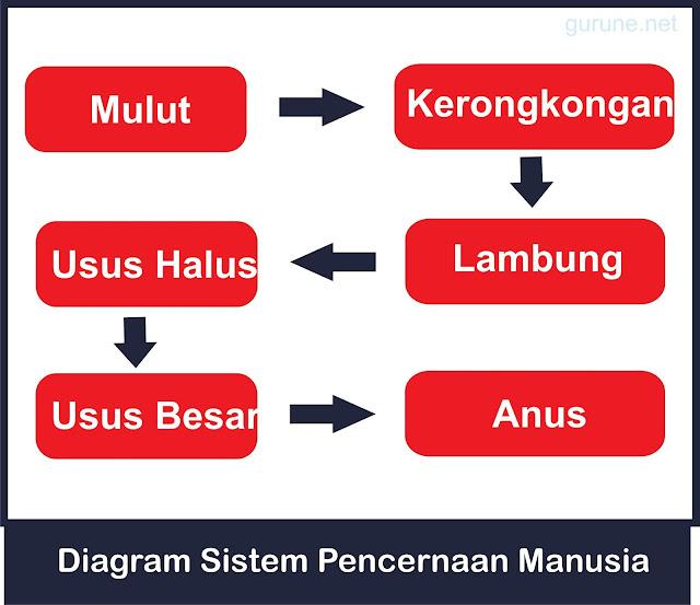diagram sistem pencernaan manusia