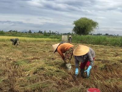 Quảng Ngãi 2500 ha lúa bị ngã đổ