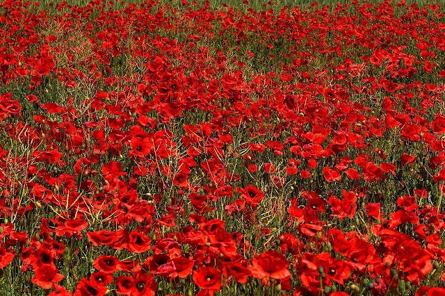 poppy flower  Crop