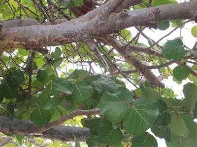 Terminalia catappa, tropical almond